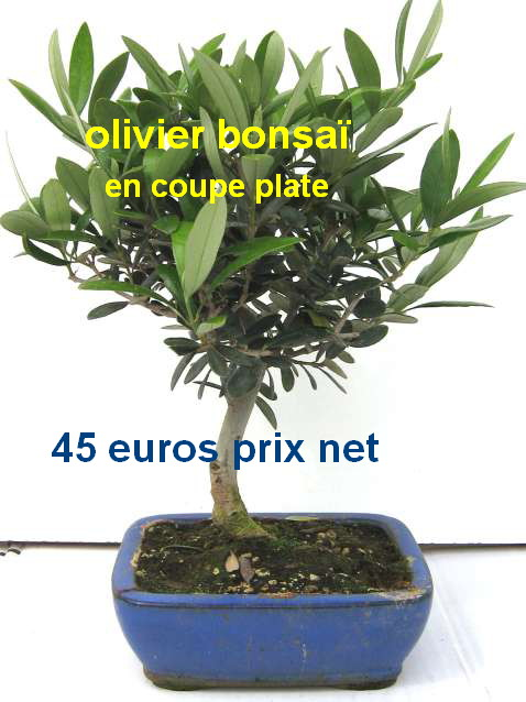 bonsai olivier prix. Black Bedroom Furniture Sets. Home Design Ideas